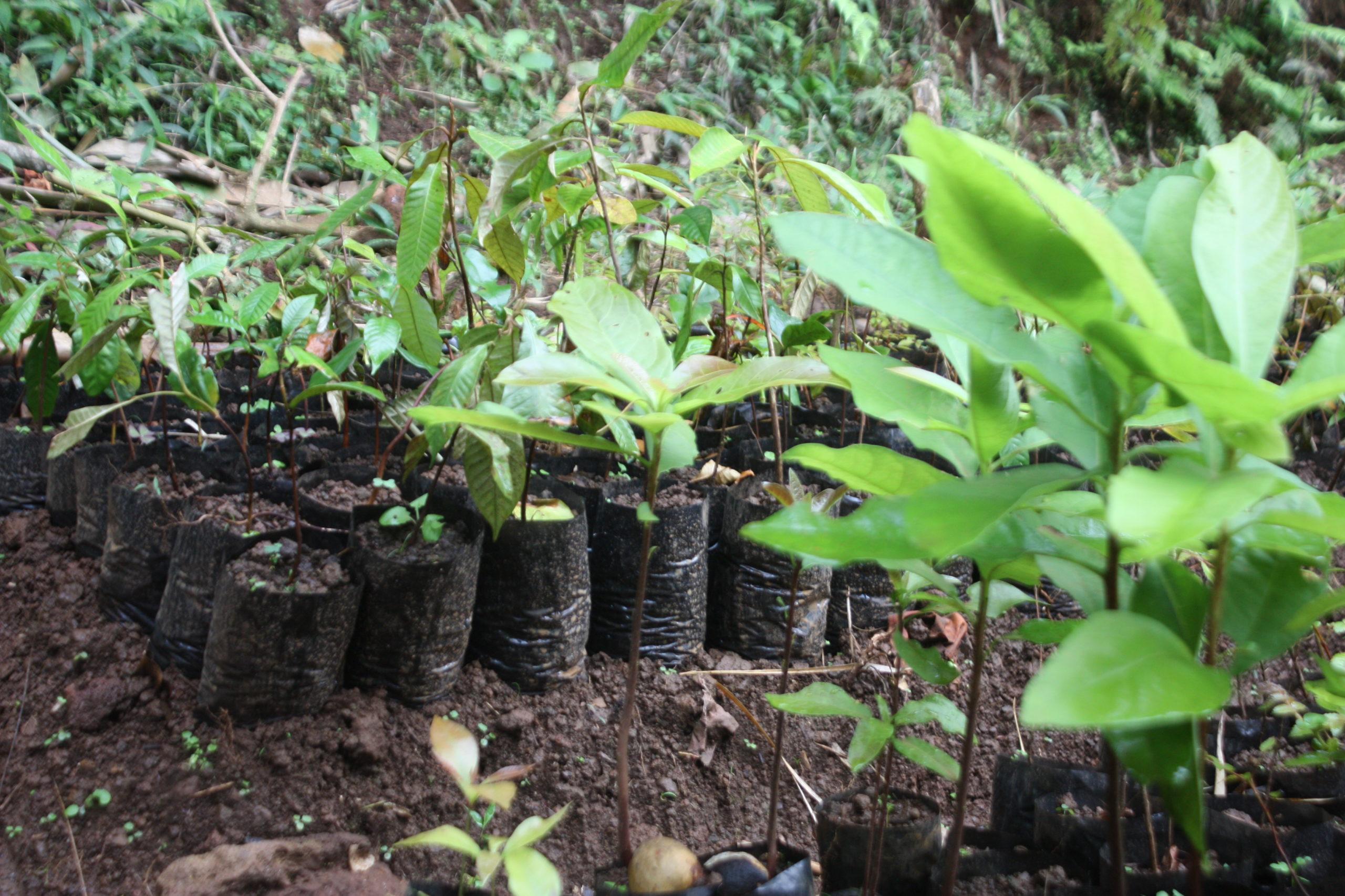 Les pépinières, premier pas vers la reforestation