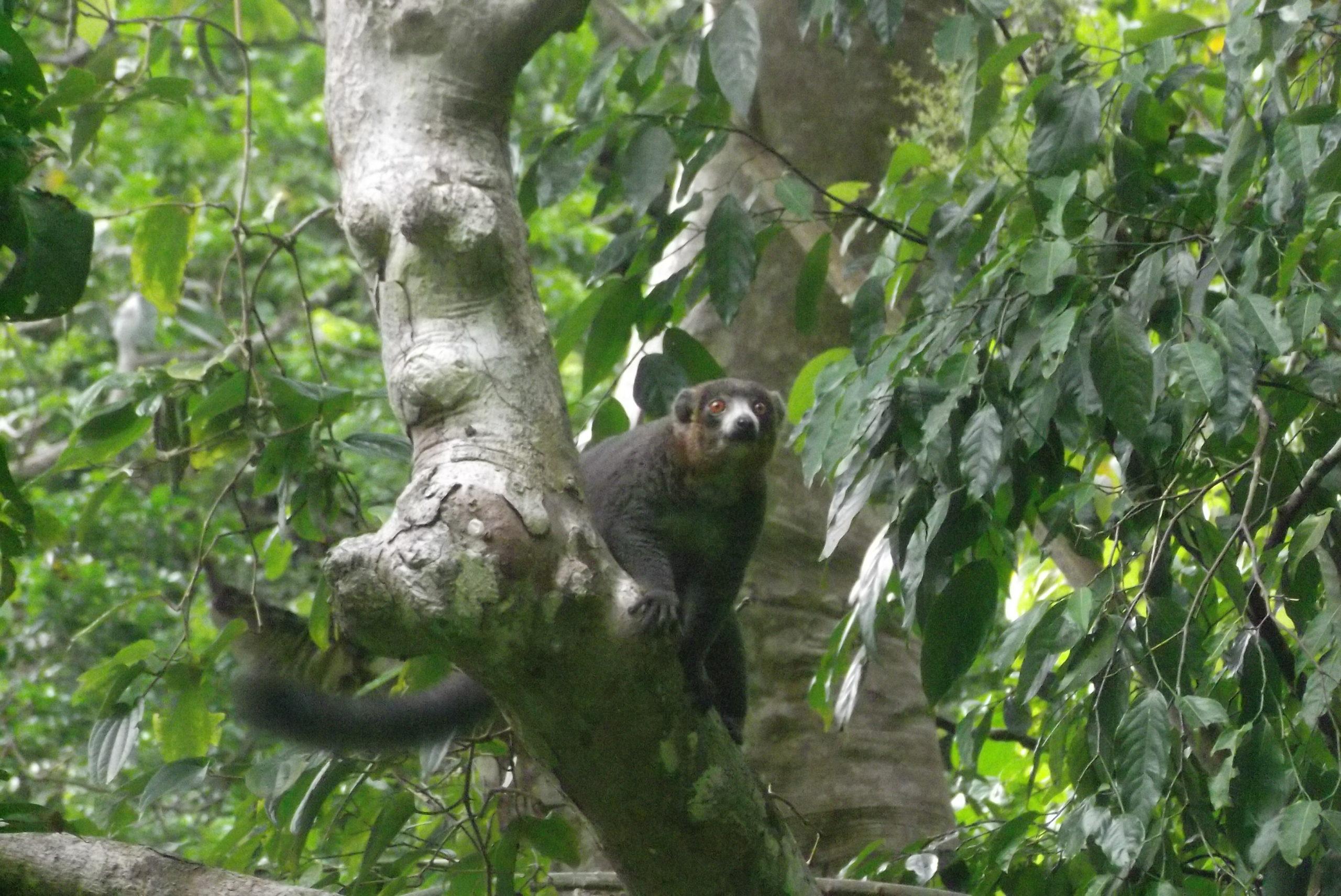 Des lémuriens hors de Madagascar
